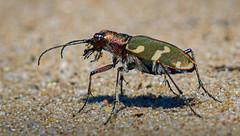 Feld-Sandlaufkäfer (Konrads Bilderwerkstatt) Tags: tier insekt natur käfer laufkäfer sandkäfer feld sandlaufkäfer sand makro macro fühler flügel panzer beine haare grün bokeh guido konrad sony alpha 58