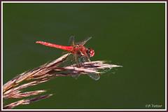Sympétrum rouge sang 190627-01-P (paul.vetter) Tags: insecte odonate libellule sympétrum