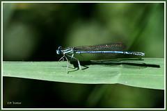 Agrion 190628-01-P (paul.vetter) Tags: agrion demoiselle insecte zygoptère odonate