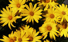 Fleurs jaunes 190628-01 (paul.vetter) Tags: fleurs