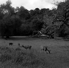 Evening (bingley0522) Tags: hasselblad500cm carlzeissplanar80mmf28 tmax400 hc110h epsonv500scanner eveninglight ranchosanantonio cupertino california autaut deer grazing santaclaracounty