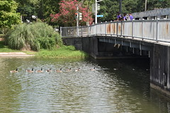 HFF Make Way for Ducklings (Omunene) Tags: fence fencefriday ducks ducklings bayoustjohn neworleans esplanadeavenue bridge