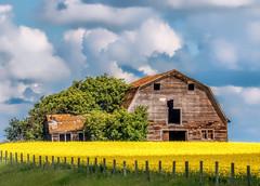 Those lazy, hazy, crazy days of summer (edmason88) Tags: summer oldbarn canolayellow countryscene tamron150600 topazadjustai