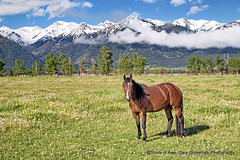 Horse With A View (Gary Grossman) Tags: wallowa joseph horse meadow flowers mountains snowcapped landscape dandelions nature oregon northwest spring may garygrossman garygrossmanphotography landscapephotography wallowamountains pacificnorthwest pastoral