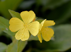 Primrose (jmunt) Tags: gardenflower primrose garden