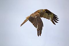 Red Kite (drbut) Tags: redkite milvusmilvus birdofprey raptor scavenger countryside farmland bird birds wildlife nature