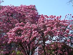 Ipês em Brasília (Alexandre Marino) Tags: árvores brasília trees flowers flores ipê ipêroxo ipês