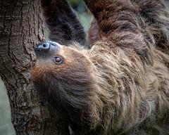 Just Hanging (helenehoffman) Tags: animalambassador unau southamerica mammal choloepusdidactylus sandiegozoo conservationstatusleastconcern linnestwotoedsloth sloth linnaeusstwotoedsloth southerntwotoedsloth animal alittlebeauty coth coth5