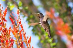 Hummingbird (Sandra Lipproß) Tags: calypteanna ocotillo desert joshuatreenationalpark california usa bird birding wildlife animal nature outdoor birdwatching annas hummingbird mojave