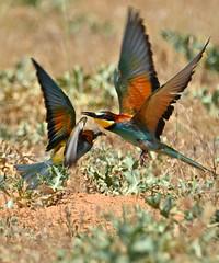 Padres y abejarucos (Mu San Jr.) Tags: abejarucoeuropeo europeanbeeeater