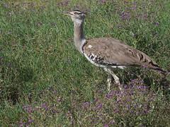 Kori bustard (Ardeotis kori) (alainloss) Tags: tanzania arusharegion ngorongoro conservationarea wildlife crater