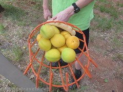 Apricots in the fuit picker (Annes Travels) Tags: capitolreefnationalpark utah apricots fruit orchard fruita pickyourown