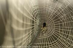 Araignée du matin (dom67150) Tags: araignée spider matin morning lumière light toiledaraignée spiderweb rosée dew