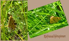 Clouded buff (evisdotter) Tags: rödfransadbjörnspinnare cloudedbuff diacrisiasannio moth fjäril butterfly insect nature macro collage
