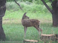 Deer in the Orchard (Annes Travels) Tags: capitolreefnationalpark utah apricots fruit orchard fruita pickyourown deer