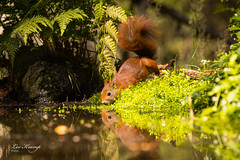Squirl | Eekhoorn (Leo Kramp) Tags: web wwwleokrampfotografienl data hbn5 photography natuurfotografie leokrampfotografie vogelhut dieren 2019 2010s zoogdieren animals mammals naturephotography eekhoorn squirrel hide
