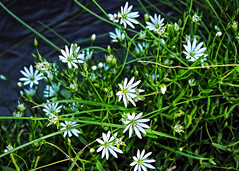 White stars !! (Lopamudra !) Tags: lopamudra lopamudrabarman lopa flora flower flowers white star suru suruvalley valley vale jk india ladakh wilderness wild beauty beautiful himalaya himalayas highaltitude highland