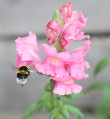 Antirrhinum with a visitor (jdathebowler Thanks for 4 Million + views.) Tags: whitetailedbumblebee snapdragon dragonflowers flora flower bee familyplantaginaceae orderlamiales floweringplant perennials alittlebeauty coth coth5