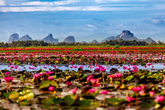 Hail the Jewel (BeNowMeHere) Tags: ifttt 500px flower benowmehere blossoms hailthejewel lake lotus lotusblossom nature southernthailand thailand thalenoi blooming