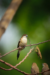 Indian Silverbill (sahulalit) Tags: natural forest avian ornithology outdoors spring female wing beauty summer feather color cute brown beautiful beak green tree branch background animal wild wildlife nature bird