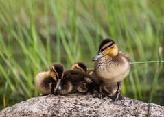 Two kinds of ducklings (M Mttr) Tags: wildlife nature animal bird mallard duck duckling cute