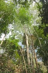 Jungle canopy (I like green) Tags: costarica 2019 trees treetops sky jungle costa rica