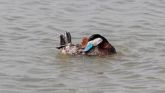 Érismature rousse (4) (Michel et Micheline) Tags: érismaturerousse oxyurajamaicensis ruddyduck baiedufebvre québec canada canon canon70d camping canard duck wildlife 2019