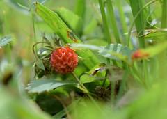 Wild Strawberry (jmunt) Tags: flickrfriday groundlevel strawberry