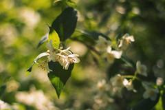 Jasmine (AllaTabashnikova) Tags: garden flower summer blooming green blossom natural jasmine