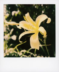 Hollywood Spring - Daylily (tobysx70) Tags: polaroid originals color 600 instant film slr680 hollywood spring daylily beachwood drive canyon hills los angeles la california ca lily hemerocallis yellow flower perennial plant petal green leaves asphodelaceae bokeh toby hancock photography
