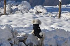 Un peu de fraîcheur ? (Annelise LE BIAN) Tags: suisse leysin naïs chien bichonfrisé neige montagne alittlebeauty coth coth5 damn sunshine