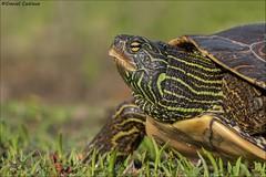 Northern Map Turtle. (Daniel Cadieux) Tags: turtle mapturtle northernmapturtle closeup amphibian ottawa ottawariver petrieisland