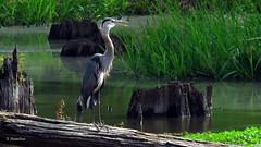 A Heron Greets the Sun (Suzanham) Tags: noxubeewildliferefuge cypressswamp baldcypress bird heron log stump wadingbird greatblueheron wetlands