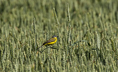 Yellow Wagtail (Curefitz) Tags: bird wagtail yellow nature green 150600 sigma nikon d500 birds wildlife amazing