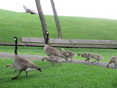 Family outing (jamica1) Tags: canada geese goose goslings granville island pecking vancouver bc british columbia