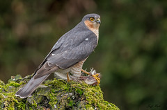 DSC6403 Sparrowhawk... (Jeff Lack Wildlife&Nature) Tags: sparrowhawk hawk hawks raptors birdsofprey birds bird avian animal animals wildlife wildbirds wetlands woodlands wildlifephotography jefflackphotography trees woodland gardenbirds glades farmland forest forests forestry heathland hedgerows heathlands heaths moorland marshland meadows moors countryside copse nature