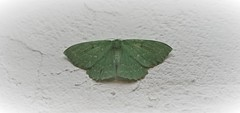 Green lantern (Bushcraft.Eure) Tags: grande naïade grandenaïade papillonaire geometrapapilionaria geometra papilionaria lépidoptères papillons geometridae mite moths papillion butterfly wings angelwings normandie valleedeleure normandy wildlife green oss nature sony sonya6000 sonye epz18105mmf4goss 18105mm winged insecte sel18105g ilce6000