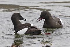 Black Guillemot (JaneTurner68) Tags: blackguillemot guillemot auk bird seabird obanharbour oban argyll scottishhighlands scotland canon1dmkiv canon100400mmmkiilens canon