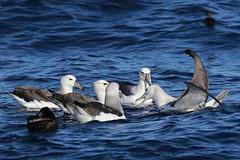 Shy Albatross (Thalassarche cauta) (sparverius81) Tags: pelagic seabirding pelagicbirding aves pájaros birds birding avesmarinas passaros tubenoses ocean mar océano sea offshore whitecappedalbatross mollymawk diomedeidae