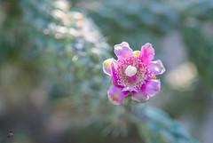 Tucson 2019 Barbara_0019 (stevenroundrock) Tags: cholla arizonachillo desertflowers cactusflowers