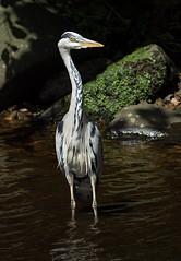 Heron (Dibbly Dobbler) Tags: heron sonyrx10iii