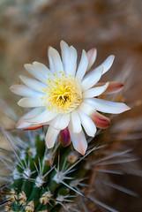 Tucson 2019 Barbara_0001 (stevenroundrock) Tags: desertflowers cactusflowers