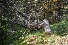 El 4 (SantiMB.Photos) Tags: 2blog 2tumblr 2ig lapobladelillet catllaràs berguedà barcelona otoño autumn pino pine geo:lat=4220266401 geo:lon=193179970 geotagged castelldelareny cataluna españa