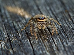 Femelle araignée sauteuse (marpissa muscosa) (pierre.pruvot2) Tags: spider araignée arthropodes arachnides macro olympus60mmmacro lumixg9 panasonic maraisdeguînes chemindestêtards pasdecalais france