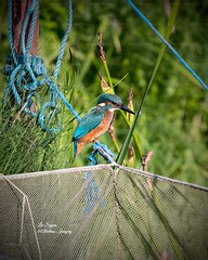 Beautiful Kingfisher. (Albatross Imagery) Tags: hampshirewildlife hampshire springwatch rspb colourful colour ukwildlife uk photographer photo photography flickrphotography flickrwildlife flickr instagram gorgeous beautiful naturephotography nature nikkor nikonphotography nikonwildlife nikon wildlifephotography wildlifephotographer wildlife birding bird birds kingfishers kingfisher