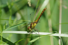 Obelisk Position (Hugobian) Tags: paxton pits nature reserve wildlife insect animal dragonfly dragonflies pentax k1 common darter
