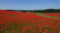 Blackstone Farm Poppy Fields (Seventh Heaven Photography **) Tags: poppy poppies flowers flora blooms red blackstone fields bewdley worcestershire kidderminster farm landscape summer papaver papaveroideae carpet trees grass sky blue xperia sony phone camera xz1 june