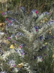 Echium albicans Lag. & Rodr. subsp. albicans (Peter M Greenwood) Tags: echiumalbicans echiumalbicanssubspalbicans echium albicans subsp