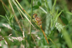 Common Darter (Hugobian) Tags: dragonfly dragonflies insect nature wildlife fauna pentax k1 paxton pits reserve common darter