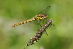Hidden Dinner? (Hugobian) Tags: paxton pits nature reserve wildlife insect animal dragonfly dragonflies pentax k1 common darter